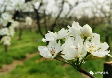 太湖江塘:风舞梨花分外香