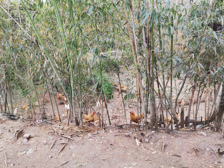 草鸡、草鸡蛋 13866612386