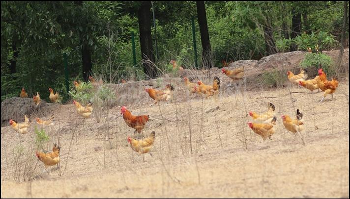 散养草鸡、草鸡蛋 1386661238
