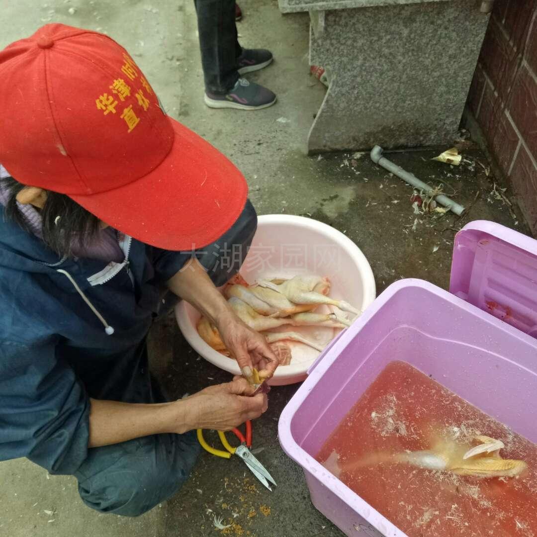 太湖正宗散养草鸡、草鸡蛋、支持同城送货上门13866612386